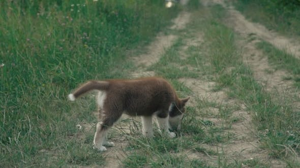 Thumbnail for A Puppy of Husky Walks on the Nature