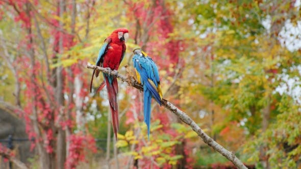 Thumbnail for Exotic Birds. Two Bright Parrots Sit on a Branch. Scarlet Macaw