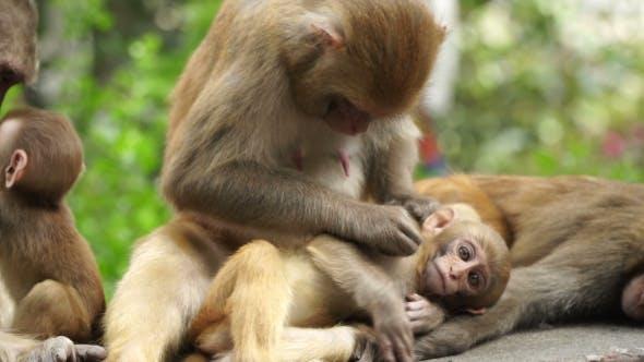 Thumbnail for Monkeys in the City of Kathmandu