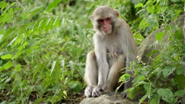 Thumbnail for Female Macaques in the Jungles of Asia