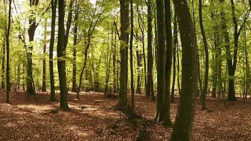 Waldbäume mit weißen Flecken auf Stämmen
