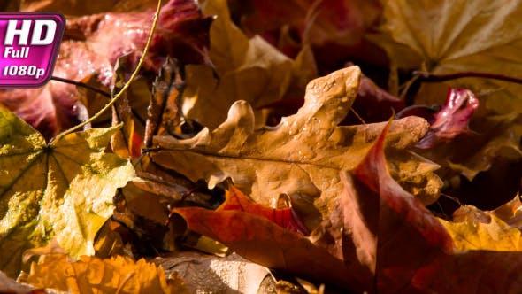 Thumbnail for Rain Drops On The Autumn Leaves