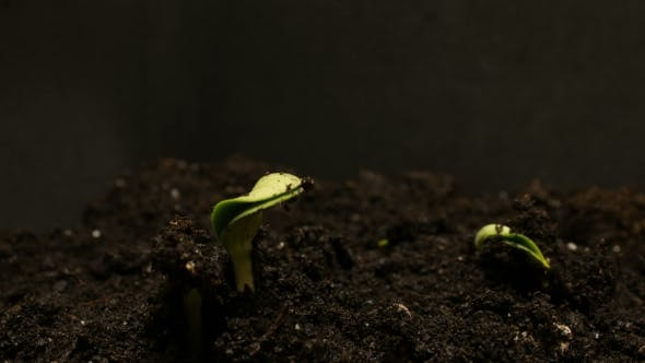 Thumbnail for Germinating Seed Growing in Ground Agriculture Spring Summer