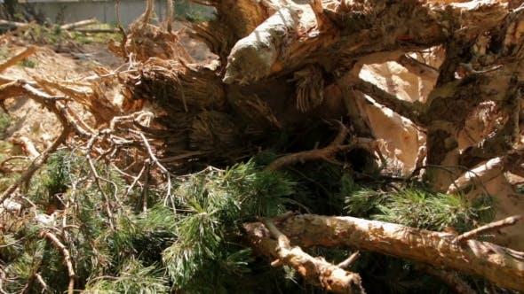 Deforestation Pine Trees
