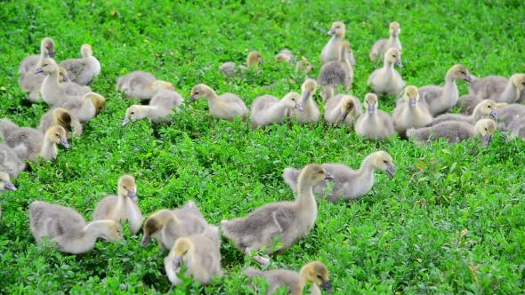 Thumbnail for Young Geese Eating Grass
