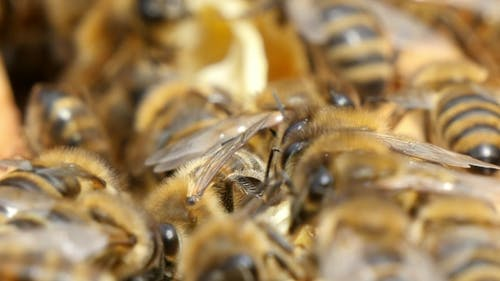 Humming Bees Creep on Yellow and White Beecombs in a Beehive