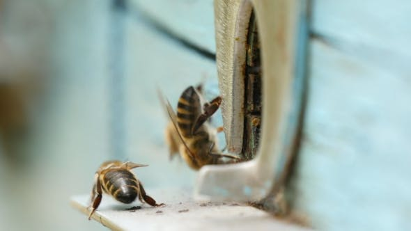 Thumbnail for Bees Are Flying at a Beehive Entrance in Summer They Brought Honey