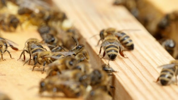 Thumbnail for Hundreds of Bees Crawl on the Beecomb Boards with Honey and Wax