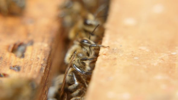 Thumbnail for A Swarm of Bees Creep on the Beecomb Boards with Honey and Wax