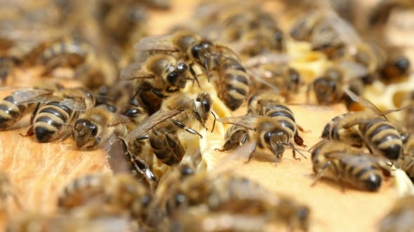 Thumbnail for Dozens of Bees Crawl on the Beecomb Boards with Honey and Wax