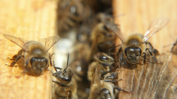 Thumbnail for A Lot of Bees Creep on the Beecomb Boards with Honey and Wax