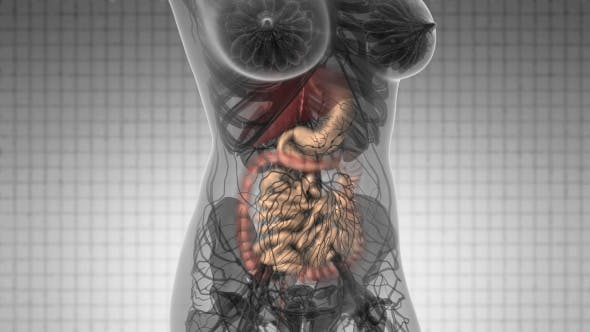 Human Body with Visible Digestive System