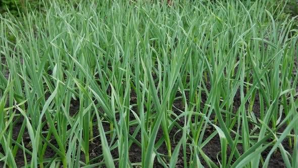 Thumbnail for Fresh Green Sapling of Garlic