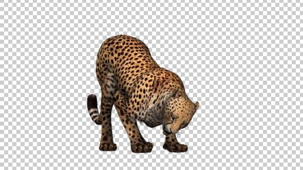 Thumbnail for Cheetah Eating