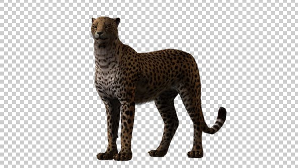 Thumbnail for Cheetah Looking Around