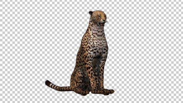 Thumbnail for Cheetah Sitting