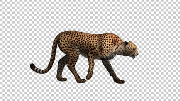 Cover Image for Cheetah Walk