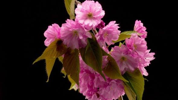 Thumbnail for Pink Sakura Tree Flowers.