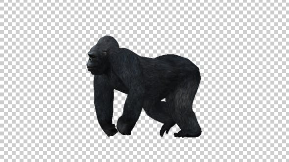 Thumbnail for Gorilla Walking