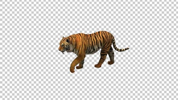 Thumbnail for Tiger Walking