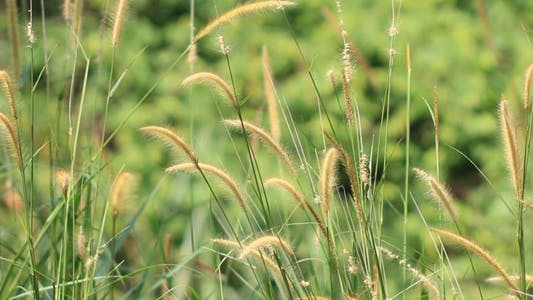 Thumbnail for Lalang Grass (Imperata Cylindrical) Flower