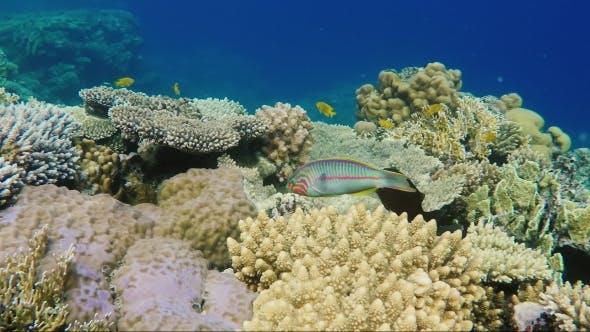 Thumbnail for A Variegated Klunzingers Wrasse Fish Floats on the Background of Magnificent Corals in the Red Sea
