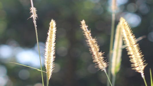 Lalang Grass Flower Backlit