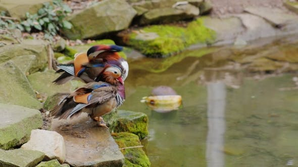 Thumbnail for Mandarin Duck Carefully Cleans Feathers