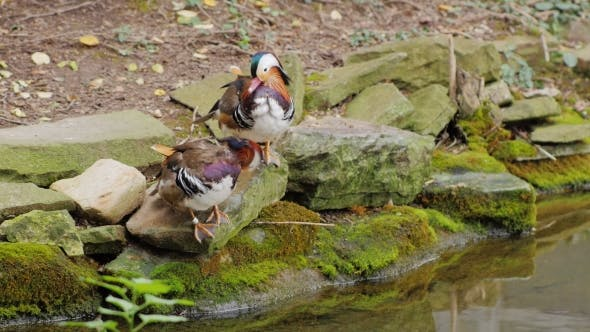 Thumbnail for Couple of Mandarin Duck Carefully Cleans Feathers