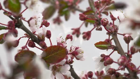 Thumbnail for White Cherry Tree Flowers Blossoms