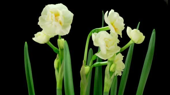Blooming White Narcissus Flower