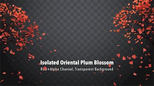 Isolated Oriental Plum Blossom