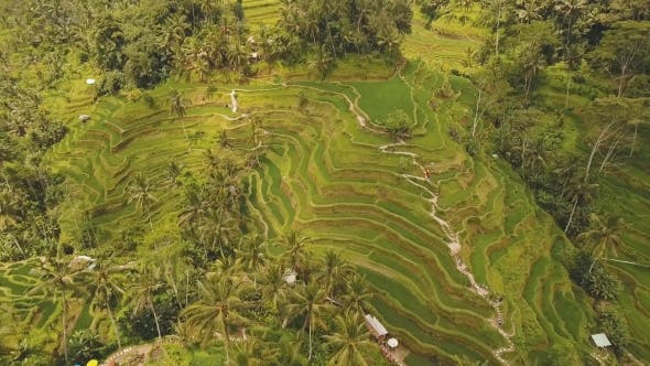 Thumbnail for Terrace rice fields in Ubud