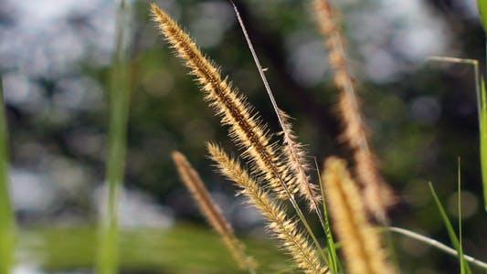 Thumbnail for Golden Lalang Flower