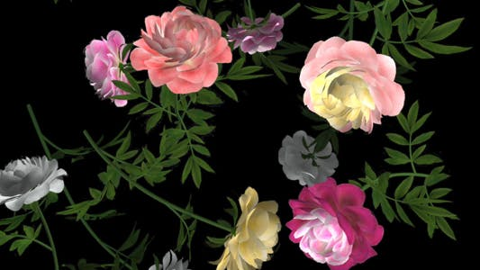 Thumbnail for Peony Flowers - III - Various Colors - Falling Loop