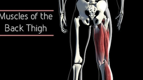 Muscles Of The Back Thigh