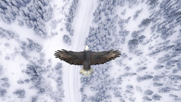 Eagle Flying Over A Snow Forest