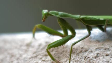 Close up of the praying mantis moving on a concrete wall.