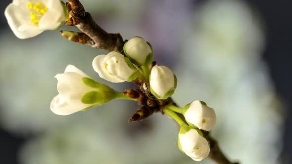 Cover Image for Plum Blossom Timelapse on Black