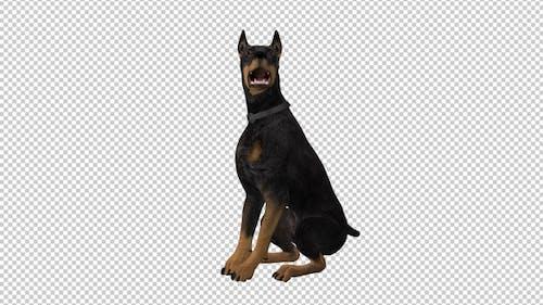 Dog - Doberman Pinscher - Seating and Barking - Loop