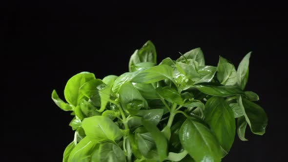 Green Basil with Wet Leaves Turns on Black Background