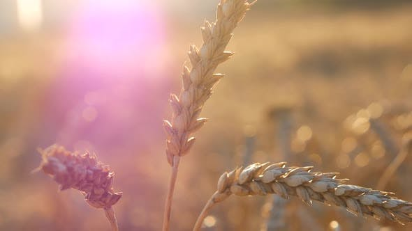 Thumbnail for Violet Soft On Wheat Corn