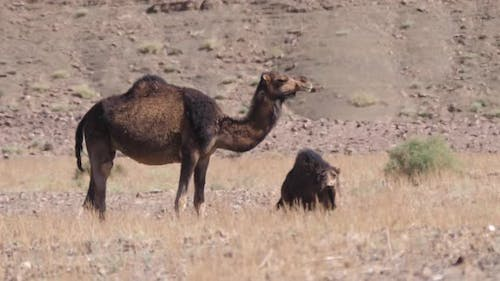 Dromedary camel with his young