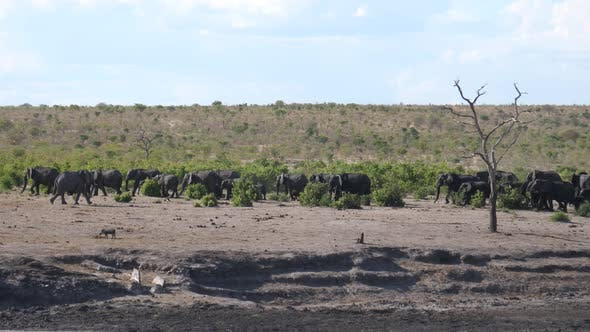 Thumbnail for Lonely elephant passing by a big herd of African Bush elephants