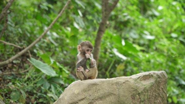 Thumbnail for Monkey Cub Eats Green Leaf