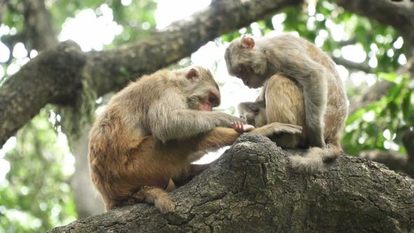 Thumbnail for Two Monkeys on a Tree