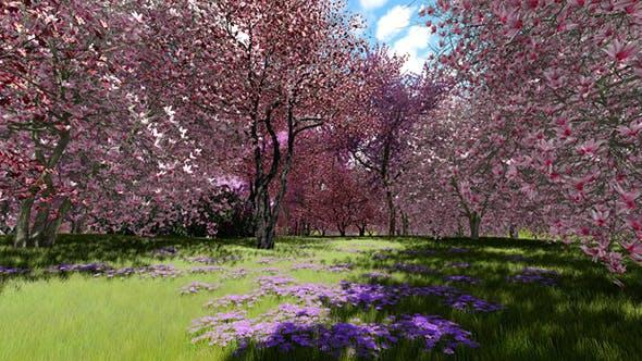 Thumbnail for Flowering Cherry Trees