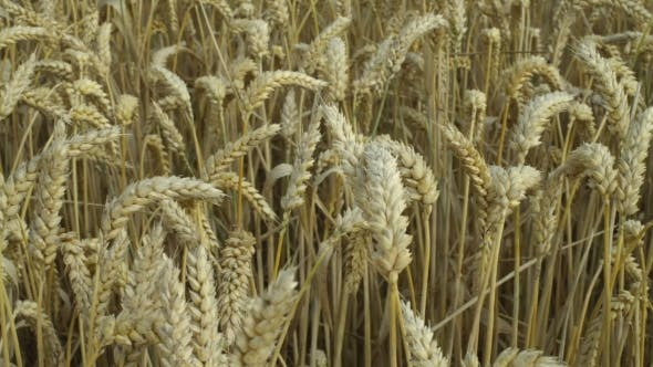 Crop of Wheat