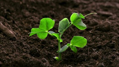 Growing Plants  Sprouts Germination