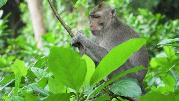 Thumbnail for Monkeys in the Forest in Bali